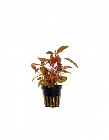 Alternanthera rosaefolia pot