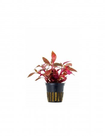 Alternanthera rosanervig pot